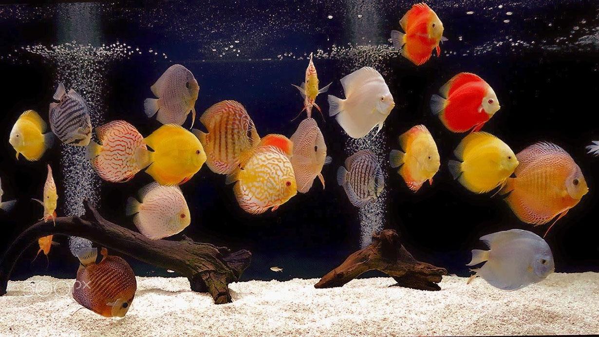 banner cá dĩa