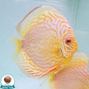 cá dĩa albino bồ câu vàng