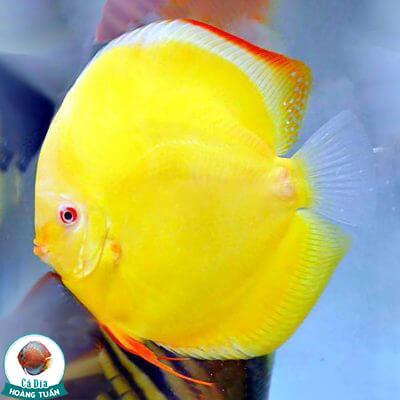 cá dĩa albino full vàng