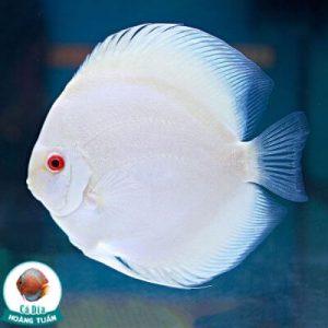 cá dĩa lam albino
