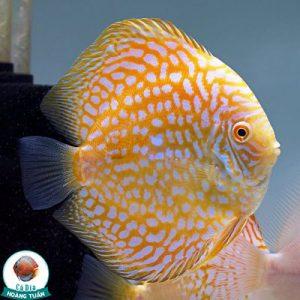 Cá Dĩa Bồ Câu Vàng