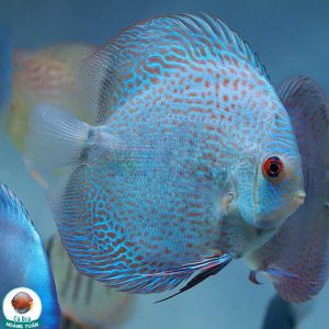 cá dĩa bông xanh da rắn