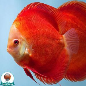 cá dĩa đỏ dưa hấu - red melon