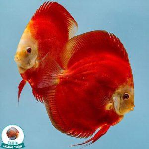Cá Dĩa Đỏ Red Ninja