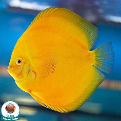 cá dĩa full vàng