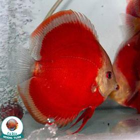 Cá Dĩa Hoa Hồng