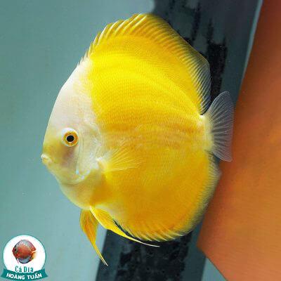 cá dĩa vàng chanh