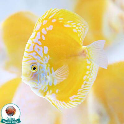 cá dĩa vàng malboro