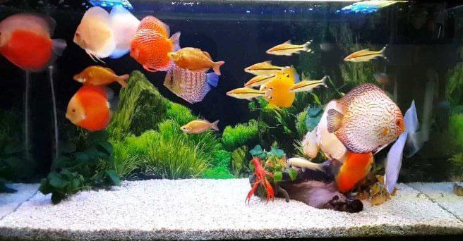 cá dĩa nuôi chung với cá gì