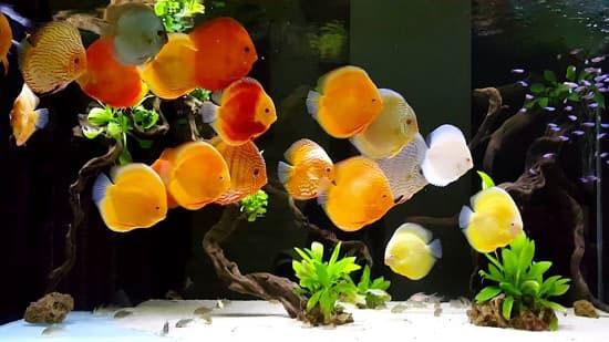các loại cá dĩa đẹp