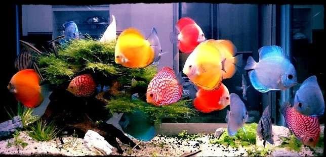 8 Cách nuôi cá dĩa mau lớn