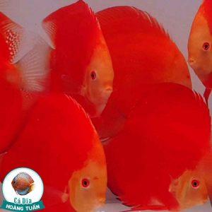 cá dĩa red albino