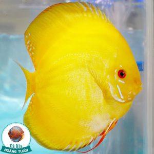 Cá Đĩa Vàng Albino