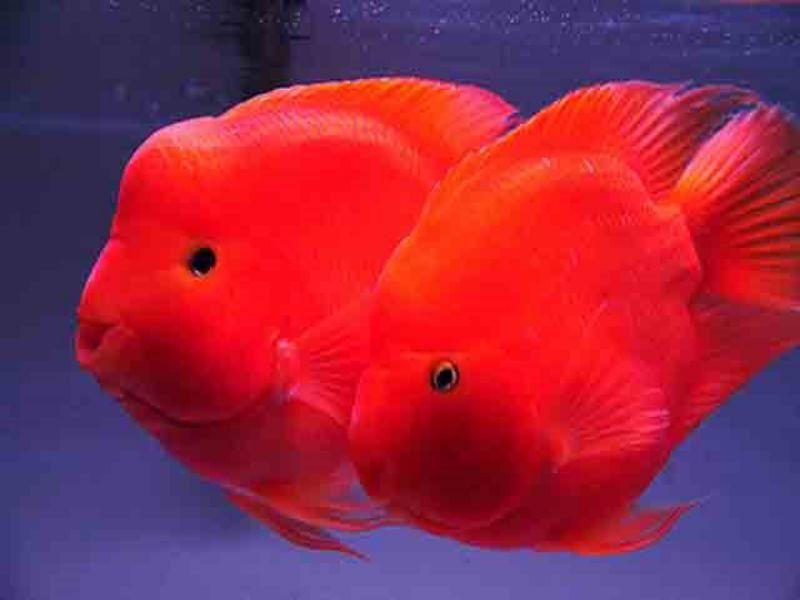 Cá Hồng Kết