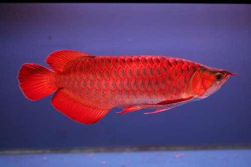 Cá rồng huyết long