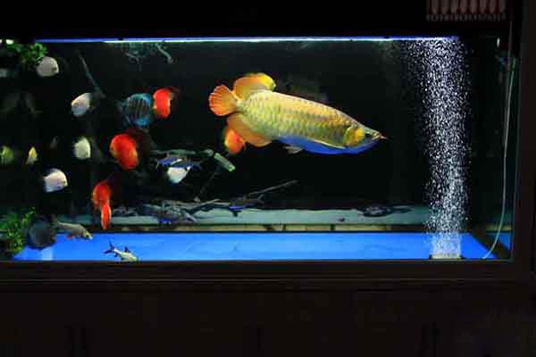 Các loại cá nuôi chung với cá rồng
