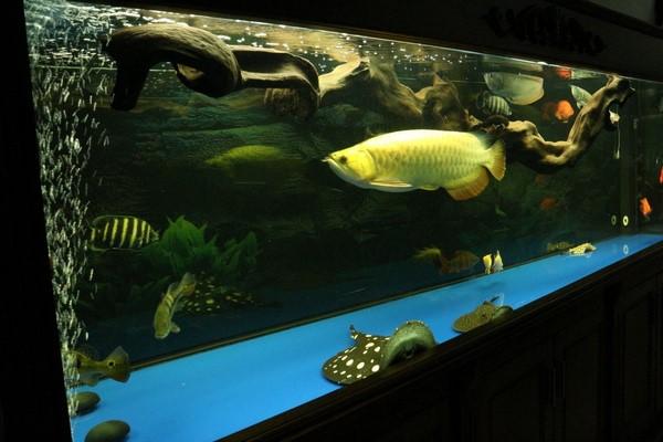 Tuổi thọ cá rồng và Cách chăm sóc cá rồng