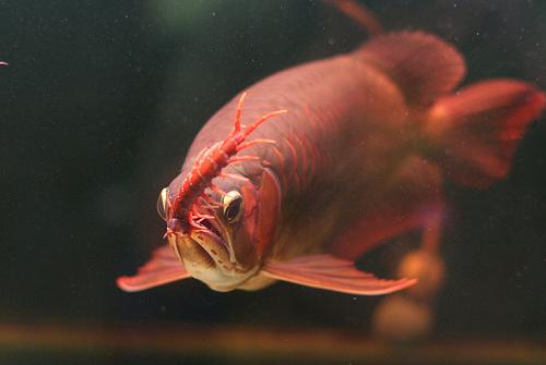 Cách chữa cá rồng bỏ ăn
