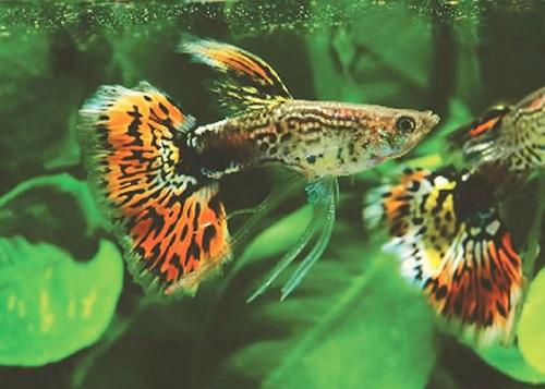 Guppy – cá 7 màu