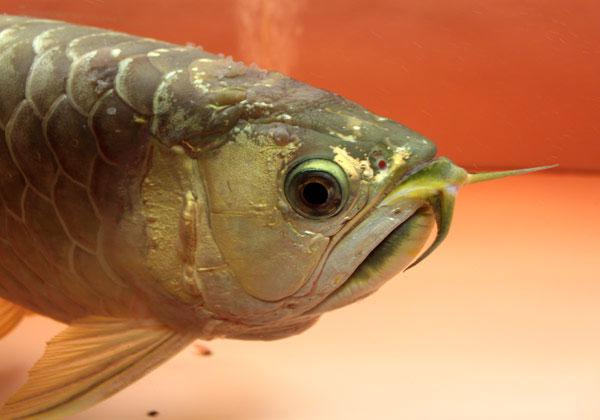 Các bệnh của cá rồng thường gặp và cách trị