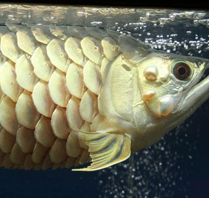 Cá rồng bị xù vẩy