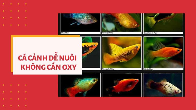 Những loại cá cảnh dễ nuôi không cần oxy