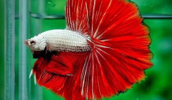 Cá betta ăn gì? Cách cho cá betta ăn