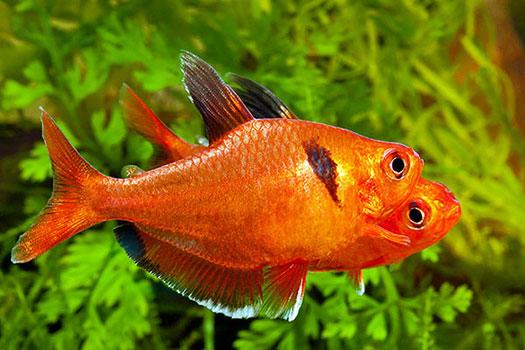 Cá Hồng Nhung – Ember Tetra