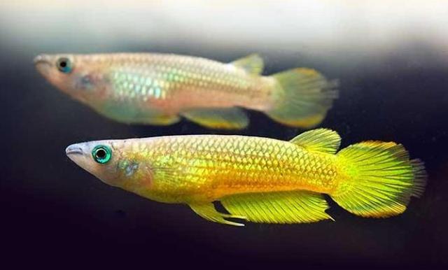 Cá Killi Vàng