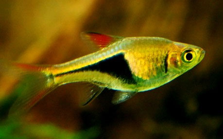 Cá Tam Giác – Harlequin Tetras